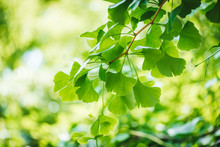 Gingko Biloba Tree Leaves Close Up
