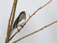 Dark Eyed Junco Bird Standing ...