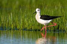 Elegant Black-winged Stilt, Hi...