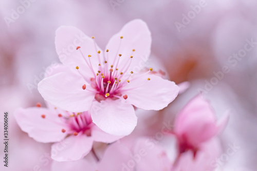 Fotografia close up of pink cherry tree blossoming at spring