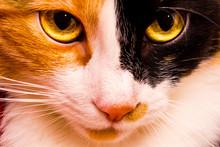 Close-up Portrait Of A Tricolo...