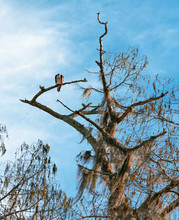 An Osprey Perched Atop A Dead ...