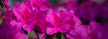 Banner Azalea Flowers Have Bloomed.