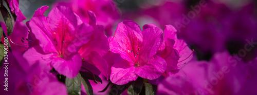 Banner azalea flowers have bloomed. Canvas Print
