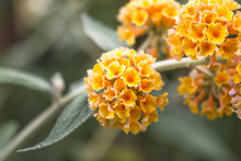 Buddleia , Butterfly Bush Or S...