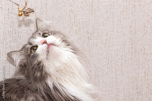 Fotografie, Tablou Fluffy cat with a very long coat looks up at the toy.