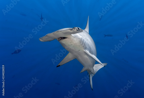 Obraz Hammerhead shark in sun rays - fototapety do salonu