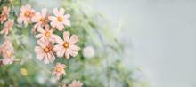 Decorative Pink Garden Flower Cosmos, Cosmos Bipinnatus, Cosmea Bipinnata, Bidens Formosa. Mexican Aster. Copy Space
