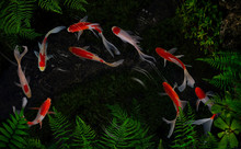 Koi Fish On The Surface Water Swimming In The Pond Garden Enjoy Feed Floating.