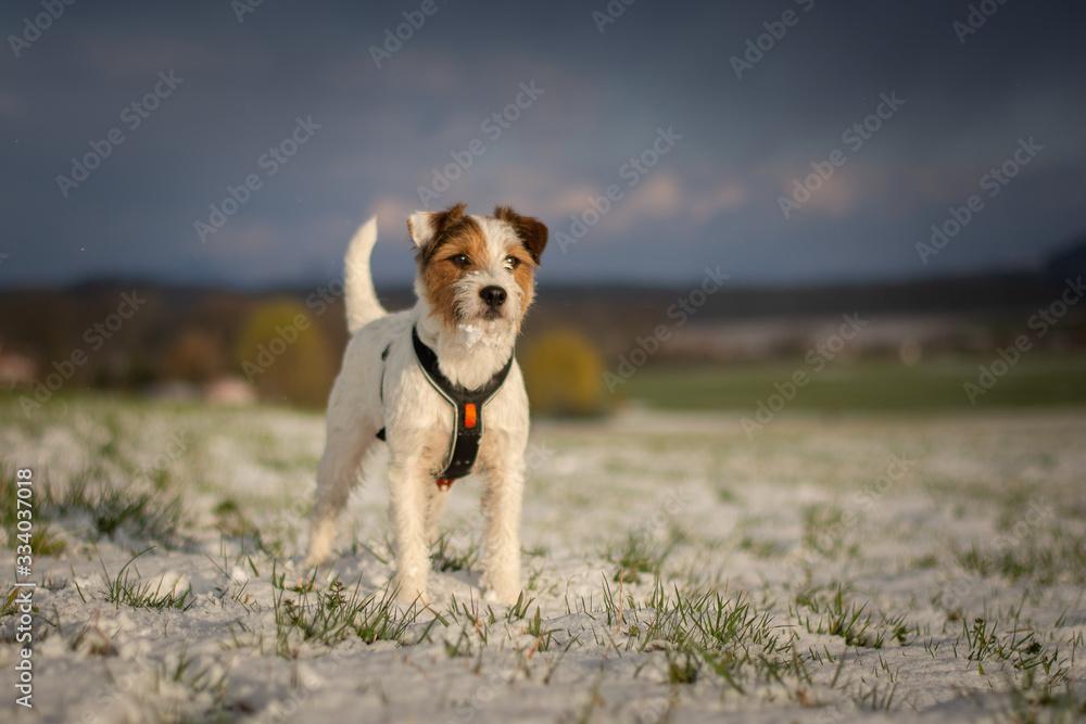 Fototapeta Parson Russell Terrier Portrait