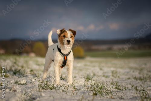 Parson Russell Terrier Portrait Fototapeta