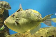 Grey Triggerfish (Balistes Cap...