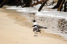 Laughing Gull Hunting On Sand ...