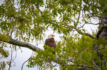 American Bald Eagle Sitting On...