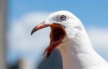 Screaming Sea Gull