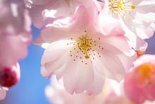 Pink Spring Flowering Tree Plu...