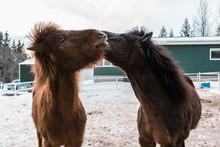 Islandia - Konie