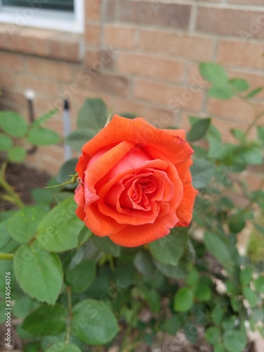 Red orange rose flower in spring time