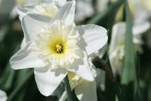 White Daffodil 2020 I