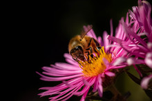 Honey Bee Pollinating In Pink ...