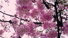 Beautiful Cherry Blossoms At P...