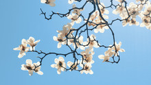 White Magnolia Flower Blooming...