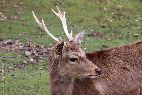 Photo Young male fallow deer with antlers