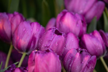 Purple Tulips With Rain Drops