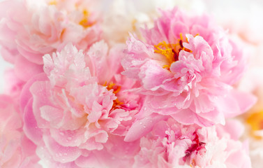 Panel Szklany Optyczne powiększenie Beautiful peony flowers close-up, macro photography, soft focus. Spring or summer floral background.