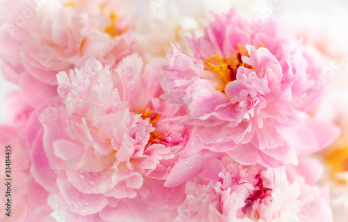 Beautiful peony flowers close-up, macro photography, soft focus. Spring or summer floral background.