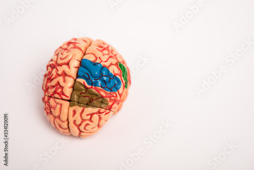 High angle view of colored parts on brain model on white background Canvas Print