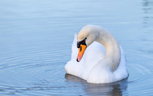 Portrait Of A Beautiful White Swan Cygnus Bird In A Water Pond