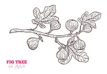 Hand Drawn Fig Tree Branch. Doodle Vector Hand Drawn Illustration