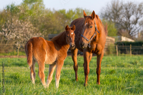 Obraz Un poulain et une jument dans un champs à l'herbe verte au printemps - fototapety do salonu