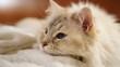 kot syberyjski - piękny rasowy