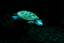 Diamondback Terrapin Turtle Sw...