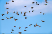 View Of Flying Brown Wild Duck...