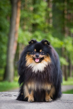 Pomeranian Dog Outdoors In The...