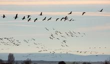 Group Of Common Cranes (Grus) ...
