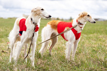 Adorable Borzoi Dog Walks At S...