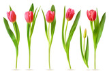 Fototapeta Tulipany - Realistic tulip. Pink red buds tulips, spring flowers bouquet, colorful floral elements for greeting card, brochure, banner vector 3d set. Tulip bloom spring, floral red plant illustration