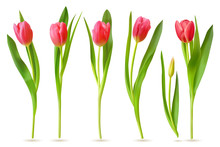 Realistic Tulip. Pink Red Buds Tulips, Spring Flowers Bouquet, Colorful Floral Elements For Greeting Card, Brochure, Banner Vector 3d Set. Tulip Bloom Spring, Floral Red Plant Illustration
