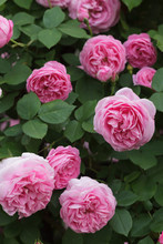 Rose Louise Odier (Bourbon Rose)