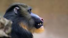 Close-up View Of A Male Mandri...