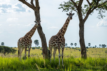 Two Giraffes Standing Under Th...