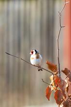 Small European Goldfinch In Bi...