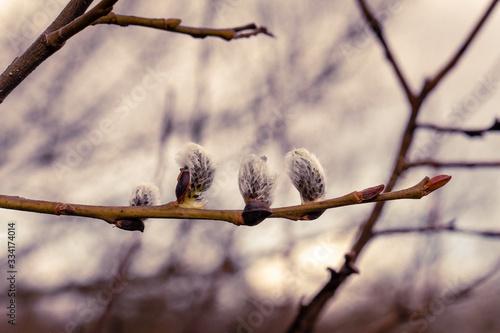 Photo saule en fleur