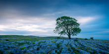 Lone Tree On Gordale Scar Malh...