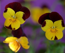 Blosssom Flower Called Johnny Jump Up / Viola Tricolor In Latin Close Up Macro