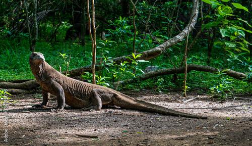 Obraz na plátně Komodo dragon in the green on Komodo island